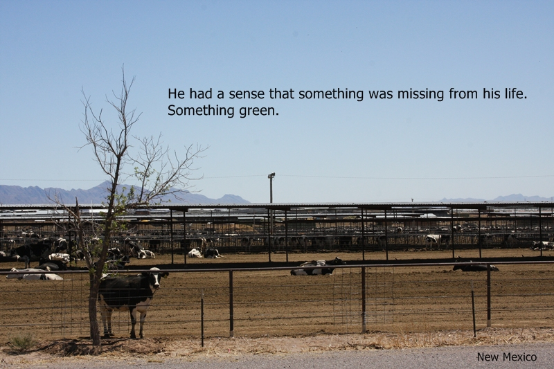 Cow in enclosure in New Mexico